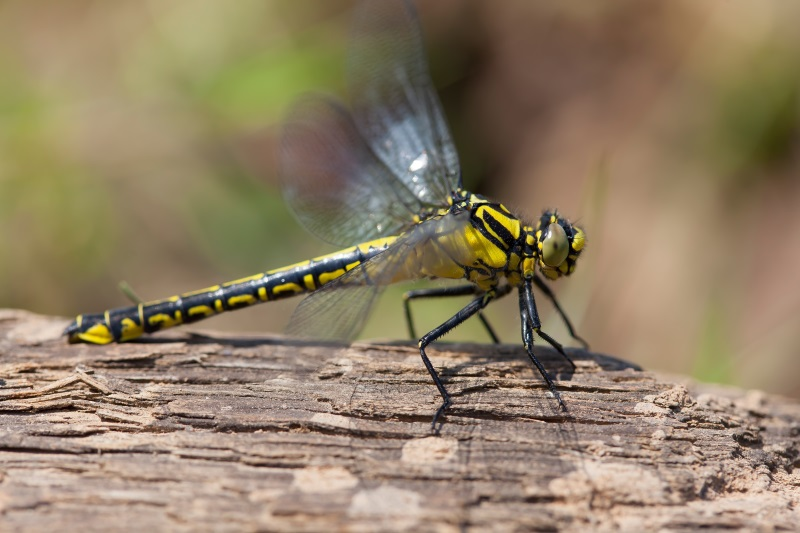 Common Clubtail - Gomphus vulgatissimus - by Christophe Brochard