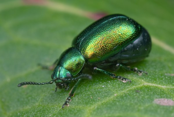 Green Dock Beetle by Stephen Barlow