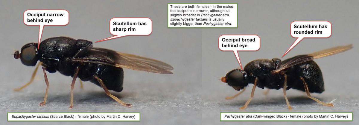 Comparison of female Eupachygaster tarsalis and Pchygaster atra (by Martin Harvey)