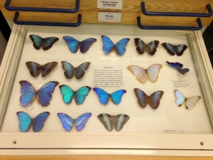 An engaging butterfly collection at World Museum Liverpool. C Bell