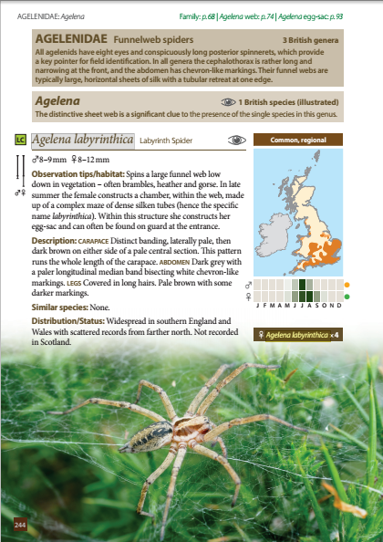 Britain's Spiders - Agelenidae