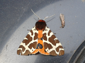 Garden tiger moth.  Photo: C Bell
