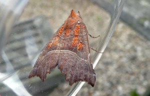 Herald moth.  Photo: C Bell