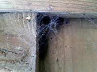 Lace Weaver (Amaurobius) web (Photo: CBell)