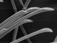 Orchesella villosa long head setae. Credit: Thom Dallimore/Edge Hill University