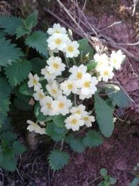 Primrose at Nettlecombe