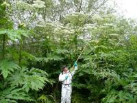 Giant hogweed (Heracleum mantegazzianum).  Photo: Julia Makin
