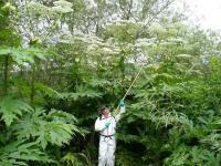 Giant hogweed (Heracleum mantegazzianum).  Photo: Julia Makin