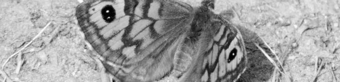 Wall (Lasiommata megera).  Photo: Rich Burkmar