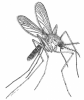 Mosquito.  Line drawing: Thom Dallimore