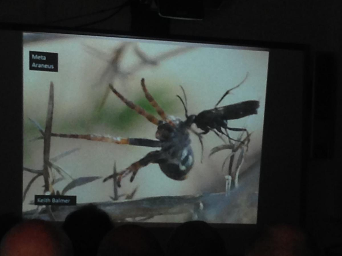 Spider hunting wasp from Ian's talk